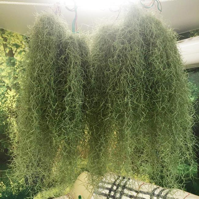 Растение Tillandsia USNEOIDES MINI Тилландсия уснеевидная мини 2