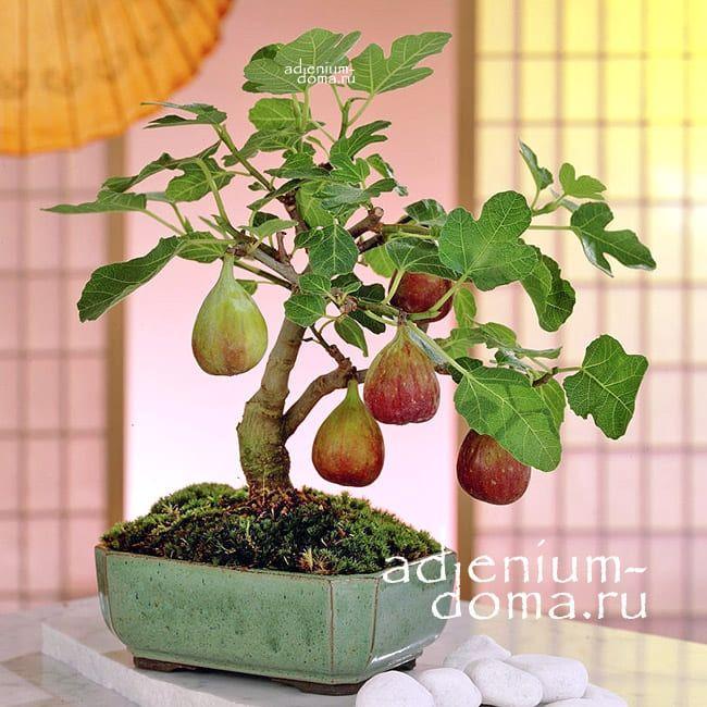 Ficus CARICA Фикус карика Инжир Фига 1