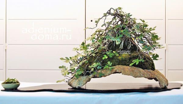 Ficus CARICA Фикус карика Инжир Фига 2