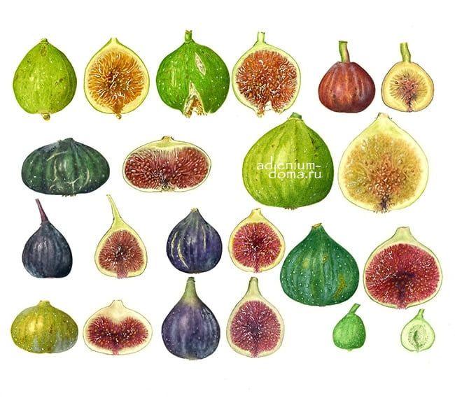 Ficus CARICA Фикус карика Инжир Фига 3
