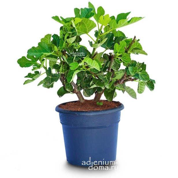 Ficus CARICA Фикус карика Инжир белый Адриатический Фига 1
