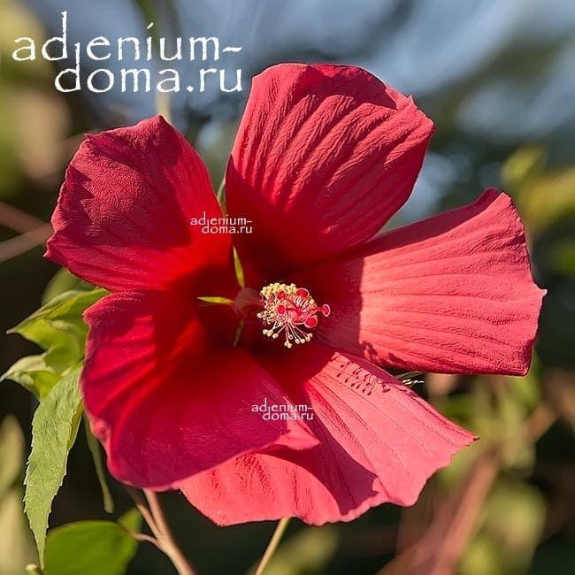 Hibiscus MOSCHEUTOS DEEP BLUSH Гибискус болотный Глубокий румянец 1