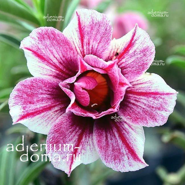 Adenium Double STARRY NIGHT