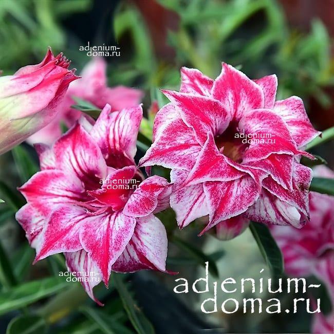 Adenium Triple MADEMOISELLE