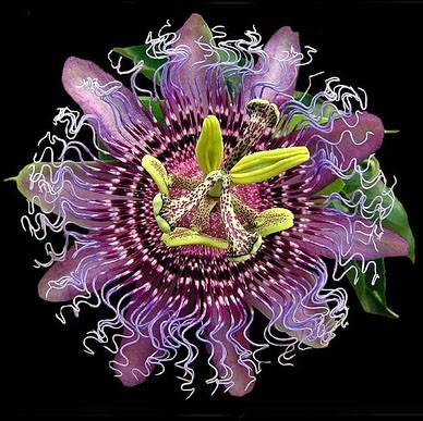 Passiflora MIX Пассифлора микс 7