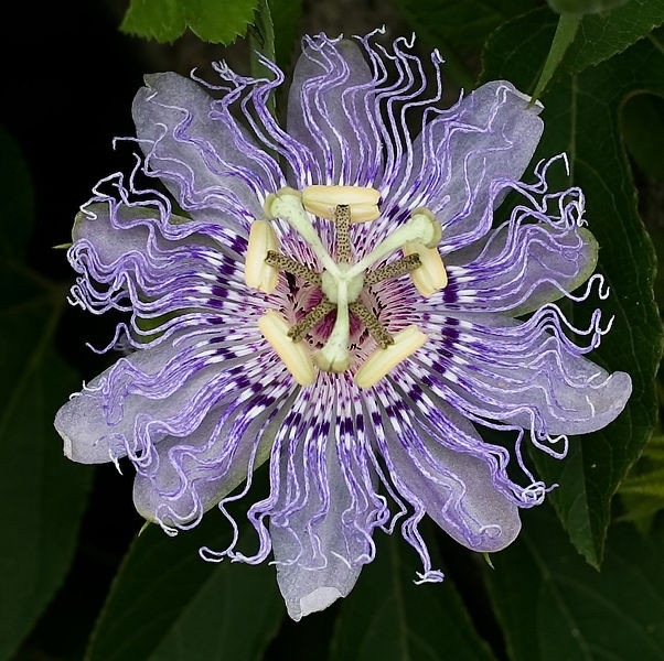 Passiflora INCARNATA Пассифлора инкарнатная 2