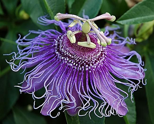Passiflora INCARNATA Пассифлора инкарнатная 3