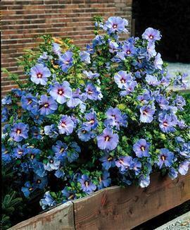 Hibiscus SYRIACUS BLUE SATIN Гибискус сирийский Голубой сатин 2