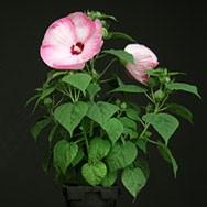 Hibiscus MOSCHEUTOS BLUSH Гибискус болотный Румяный мускусный 3