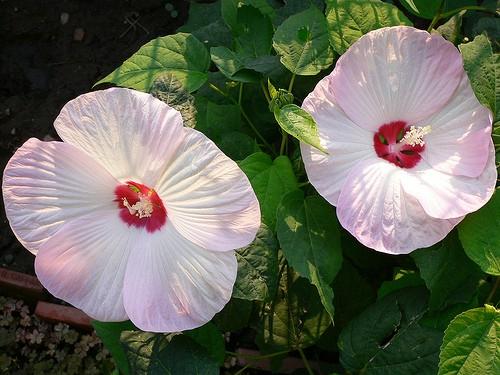 Hibiscus MOSCHEUTOS BLUSH Гибискус болотный Румяный мускусный 1