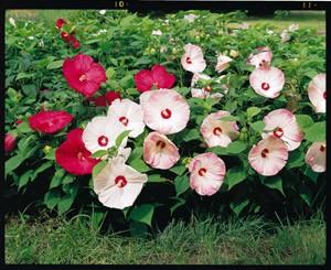 Hibiscus MOSCHEUTOS BLUSH Гибискус болотный Румяный мускусный 2