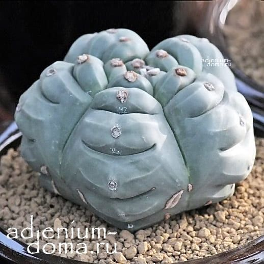 Astrophytum MYRIOSTIGMA KIKKO NUDUM Астрофитум многорыльцевый Кикко Нудум 1