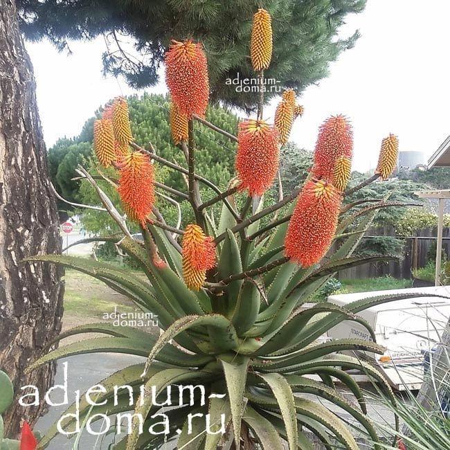 Aloe RUPESTRIS Алоэ скальное 1