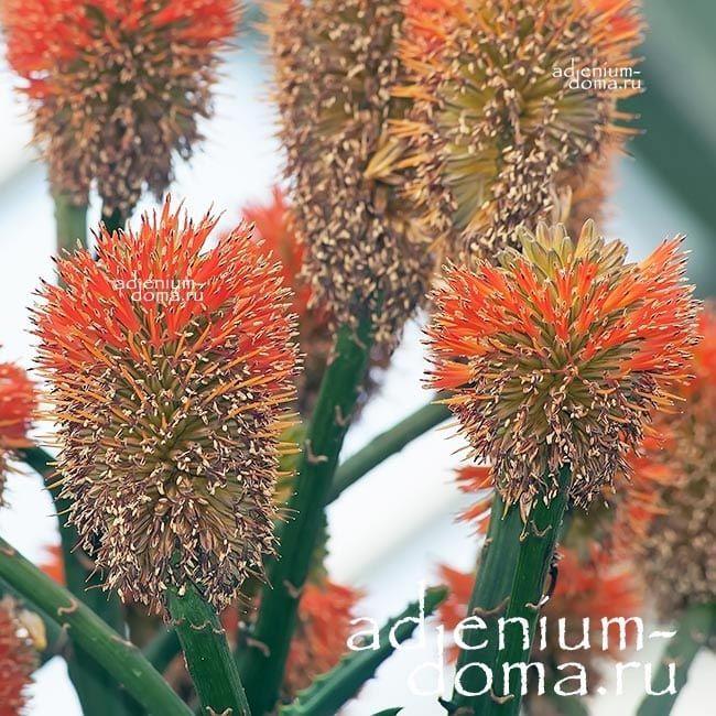 Aloe RUPESTRIS Алоэ скальное 2