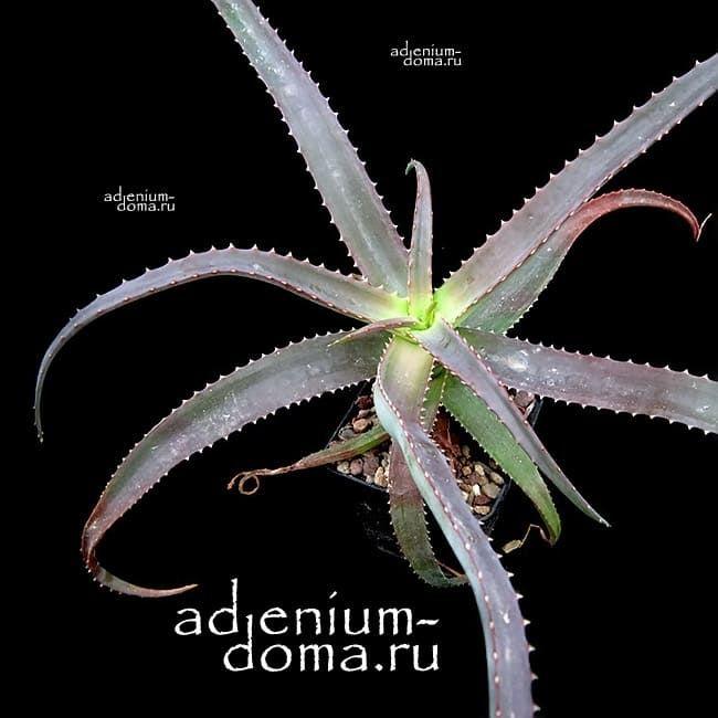 Aloe VAOMBE Алоэ ваомбе 1