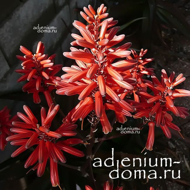 Aloe VAOMBE Алоэ ваомбе 2