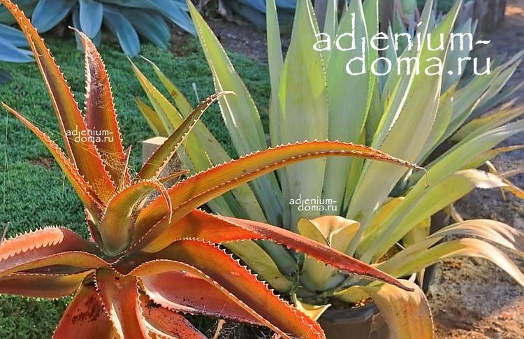 Aloe VAOMBE Алоэ ваомбе 3