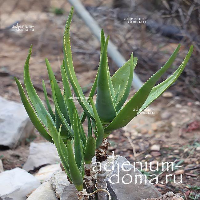 Aloe RIVIEREI Алоэ ривьерное 1
