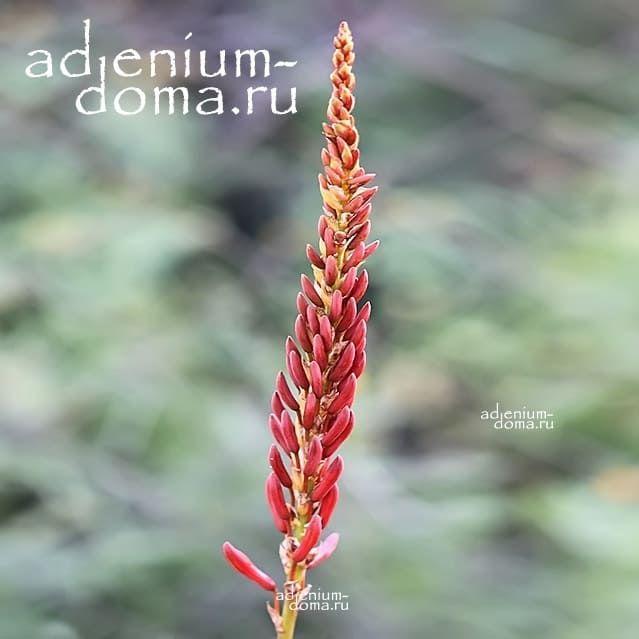 Aloe RIVIEREI Алоэ ривьерное 2
