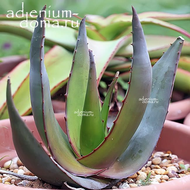 Aloe TOMENTOSA Алоэ войлочное 1