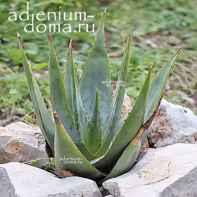 Aloe TOMENTOSA Алоэ войлочное 3