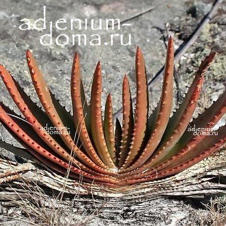 Aloe COMPRESSA SCHISTOPHILA Алоэ сплюснутое дымчатое 1