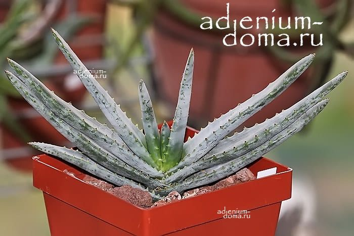Aloe COMPRESSA SCHISTOPHILA Алоэ сплюснутое дымчатое 3