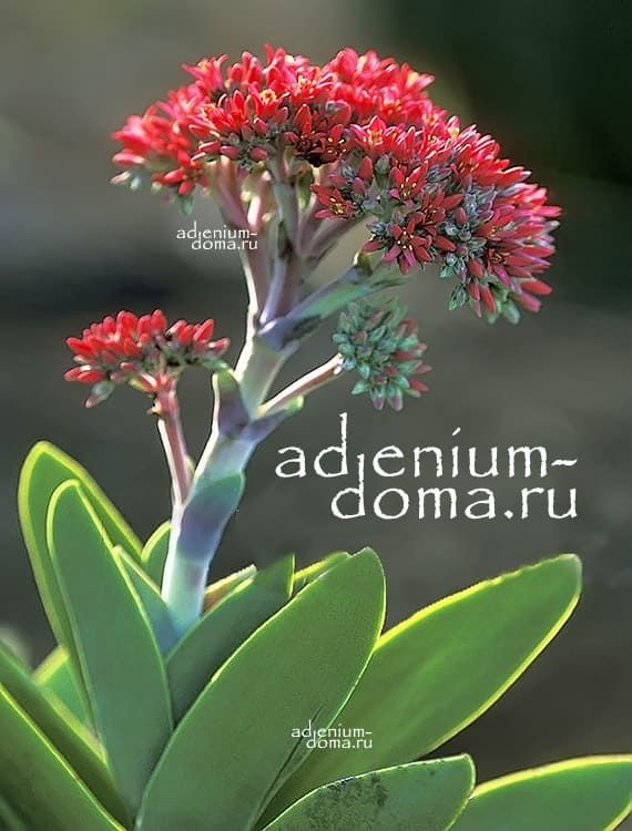 Crassula PERFOLIATA MINOR Крассула перфолиата минор Толстянка 3
