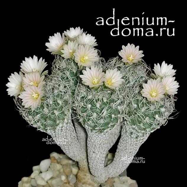 Turbinicarpus KRAINZIANUS var. MINIMUS Турбиникарпус Крайнца крайнцианус 1