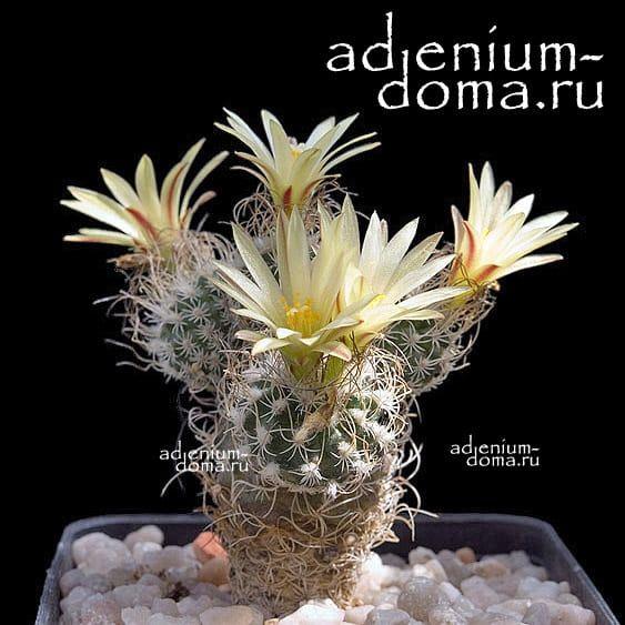 Turbinicarpus KRAINZIANUS var. MINIMUS Турбиникарпус Крайнца крайнцианус 2