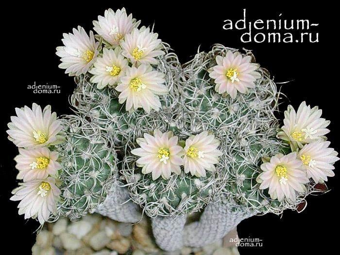 Turbinicarpus KRAINZIANUS var. MINIMUS Турбиникарпус Крайнца крайнцианус 3