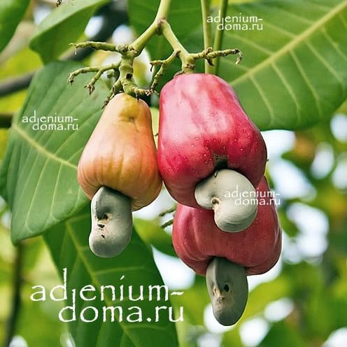 Anacardium OCCIDENTALE Кешью Анакардиум Индийский орех 1