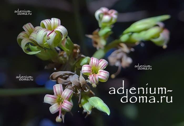 Anacardium OCCIDENTALE Кешью Анакардиум Индийский орех 2