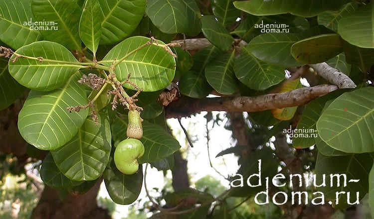 Anacardium OCCIDENTALE Кешью Анакардиум Индийский орех 3