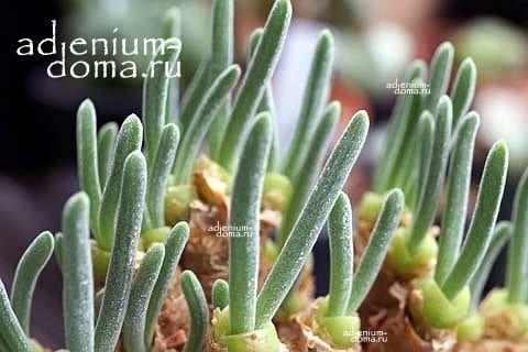 Monilaria PISIFORMIS Монилария пестичная 3