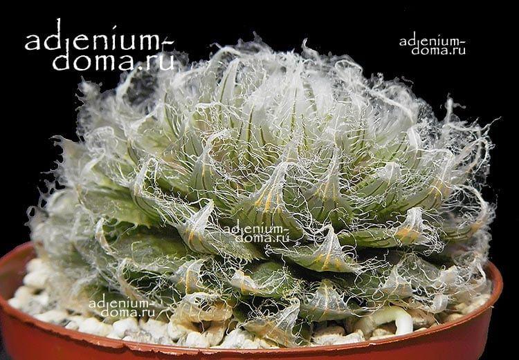 Haworthia SEMIVIVA Хавортия семивива 3
