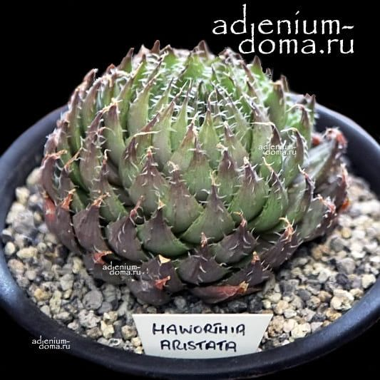 Haworthia ARISTATA Хавортия остистая аристата 1
