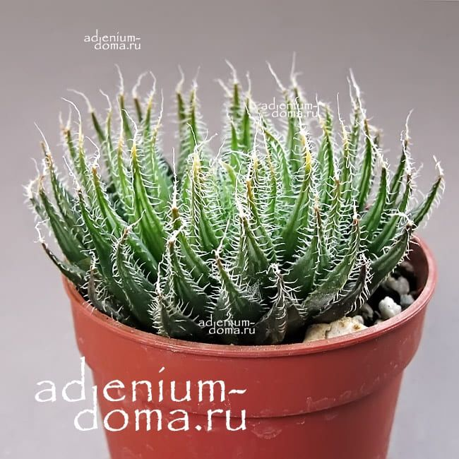 Haworthia ARISTATA Хавортия остистая аристата 2