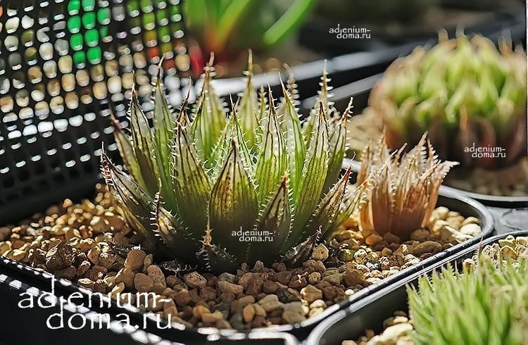 Haworthia ARISTATA Хавортия остистая аристата 3