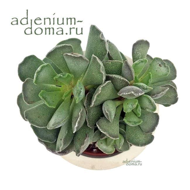 Adromischus CRISTATUS Адромискус гребенчатый 3