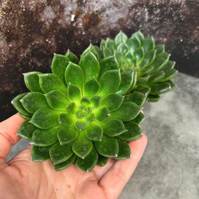 Растение Echeveria MIX III Эхеверия Эчеверия Микс 2