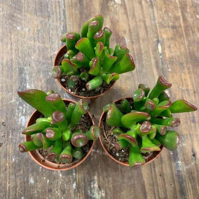 Растение Crassula OVATA HOBBIT Крассула Толстянка 2
