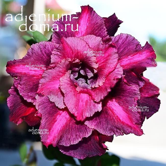 Adenium Triple YU JIAO