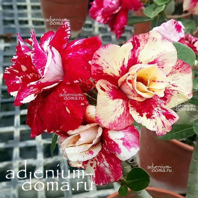 Adenium Obesum Double NOBLE FLAME