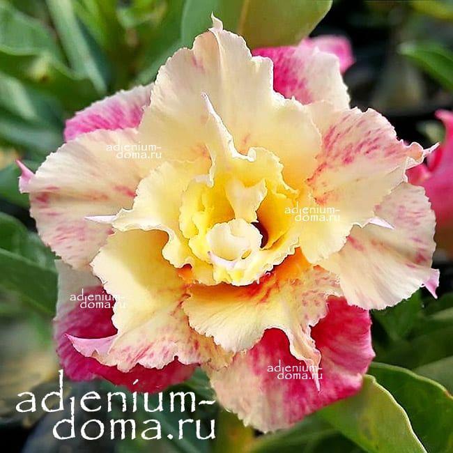 Adenium Obesum Double SUNSET VENICE
