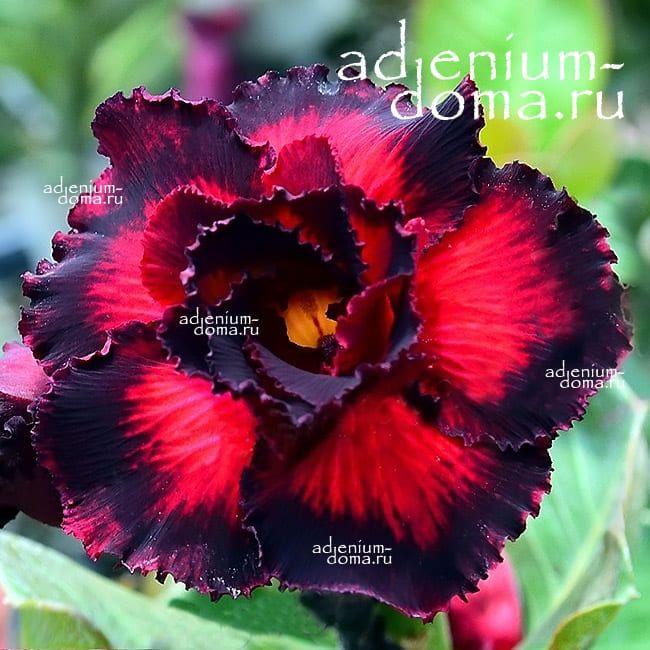 Adenium Obesum Double ENDLESS LOVE