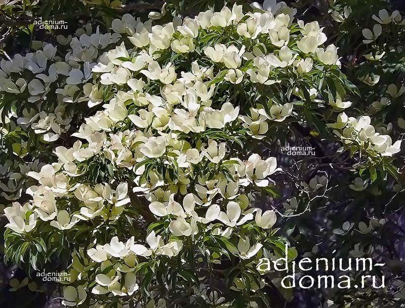 Cornus CAPITATA Кизил головчатый Клубничное дерево Дерен Капитата 4