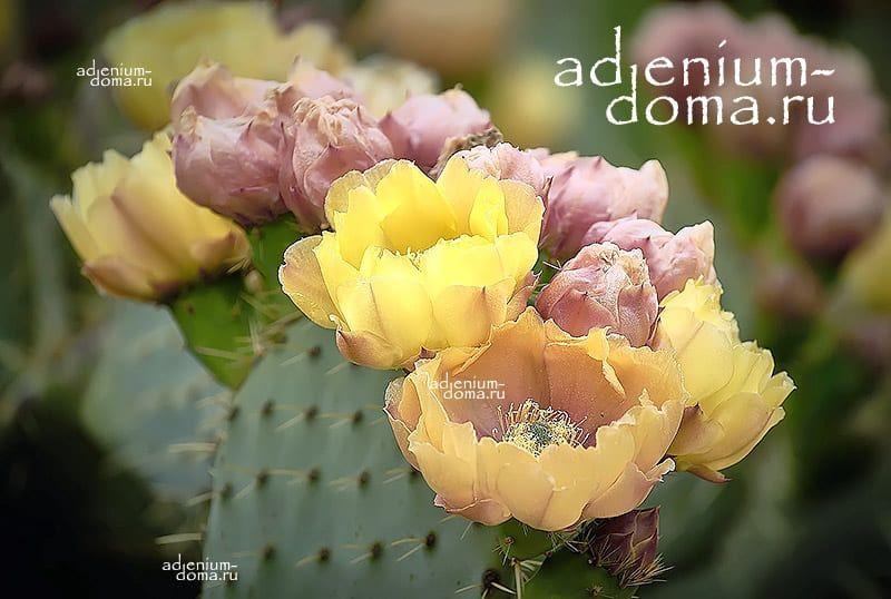 Opuntia FICUS-INDICA Опунция индийская инжирная смоква фига Колючая груша Цабар 3