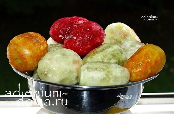 Opuntia FICUS-INDICA Опунция индийская инжирная смоква фига Колючая груша Цабар 1