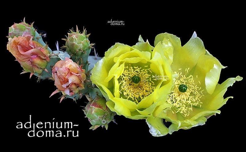 Opuntia FICUS-INDICA Опунция индийская инжирная смоква фига Колючая груша Цабар 2